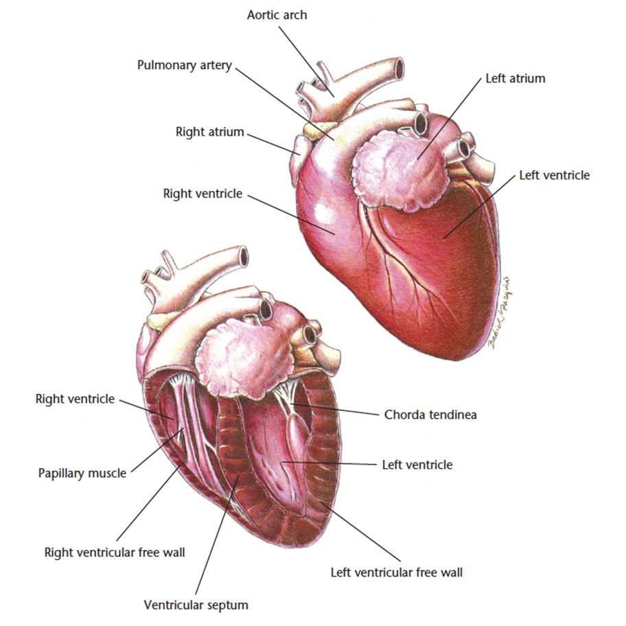 Cat Heart Anatomy Diagram - Online Schematic Diagram •